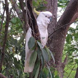 cockatoo brisbane australiannative