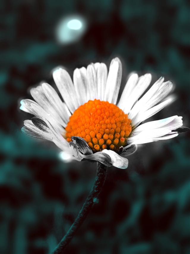 #freetoedit #daisy #flower #nature #beautifulnature    🌸Happy day to all and A big thanx for all your precious support and  friendship (20 k)🙏😘❤️