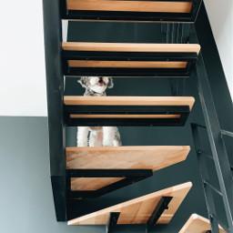 goldendoodle dog puppy freetoedit