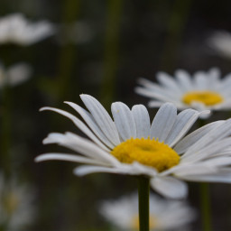 pccolorwhite colorwhite daisy white floral
