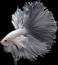 betafish mayahsstickers freetoedit