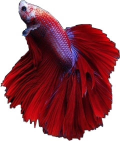 fish betafish mayahsstickers freetoedit