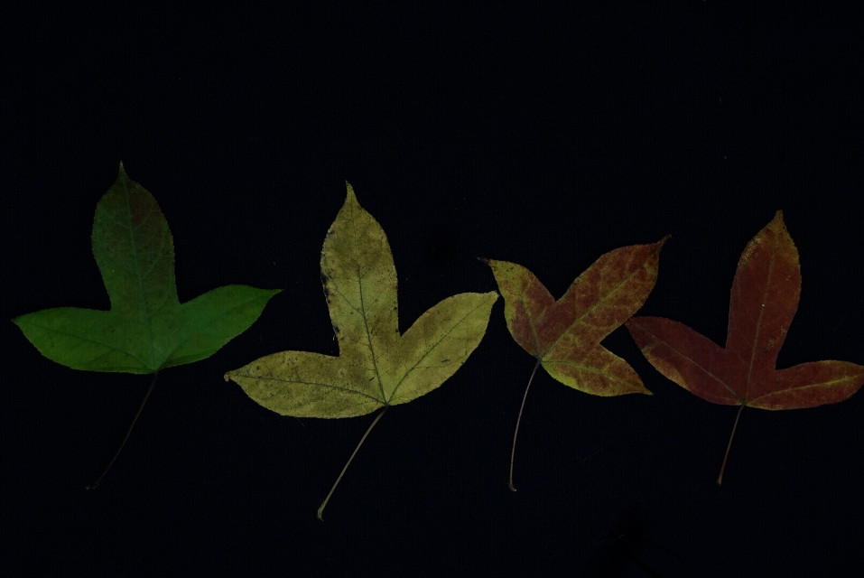 #freetoedit #vegetation#plant#photography #autumn#maple