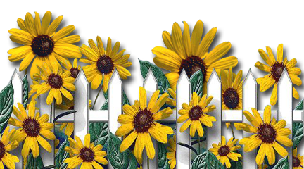 cluster sunflowers fence freetoedit