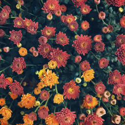 freetoedit nature autumnvibes flowers naturesbeauty autumnseasonflowers chrysanthemums fallcolors naturephotography