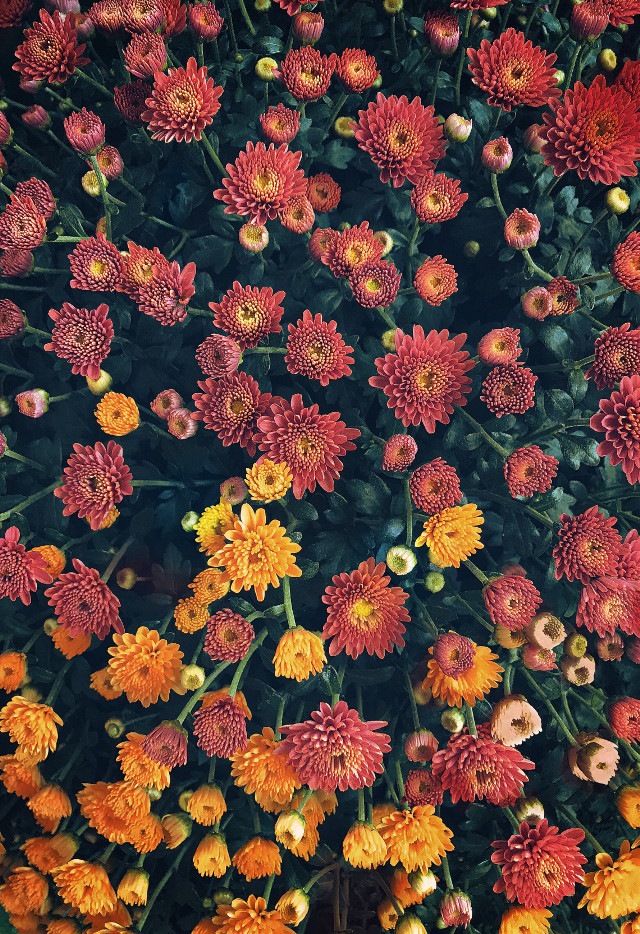 Happy New Week 🧡  #freetoedit  #nature #autumnvibes #flowers #naturesbeauty #autumnseasonflowers #chrysanthemums #fallcolors #naturephotography
