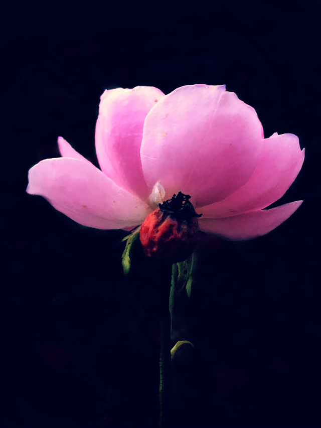 #freetoedit #nature #flower #flowers #pinkflower #photography