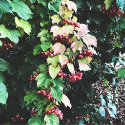 pcredandgreen redandgreen freetoedit nature berries