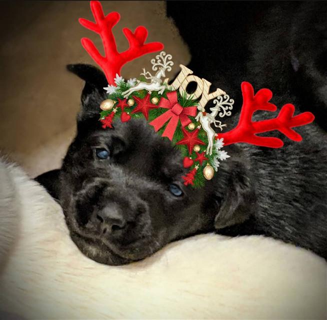 Missed the reindeer deadline. #dogsofpicsart  #freetoedit #puppy #christmas