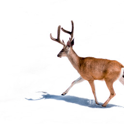 deer nature snow animal animals freetoedit