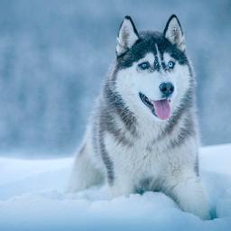 animal animals winter dog husky freetoedit