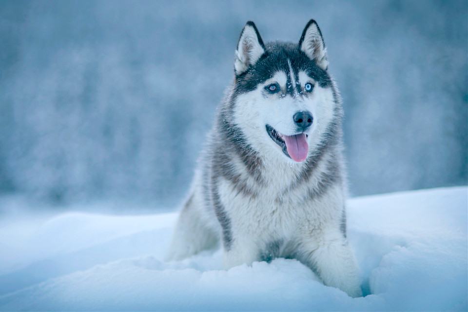 Get lost in your imagination and remix this image! Unsplash (Public Domain) #animal #animals #winter #dog #husky #freetoedit