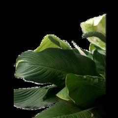 plant plants leaf leaves aesthetic freetoedit
