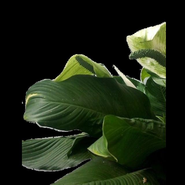 #plant #plants #leaf #leaves #aesthetic #green #freetoedit
