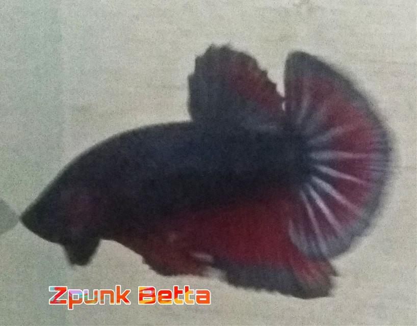 Black dragon haha #bettafish #ikancupang #test