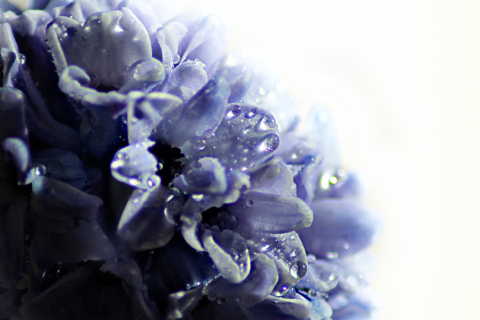 #freetoedit #nature #flowers #drops #purple #photography