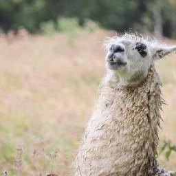 lama animal animals freetoedit