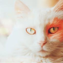 cat pet cute adorable fluffy freetoedit