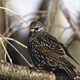 starling bird viewfrommywindow photography canon freetoedit
