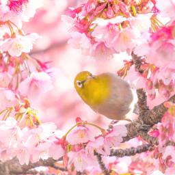 freetoedit bird sakura cherryblossom cherryblossoms