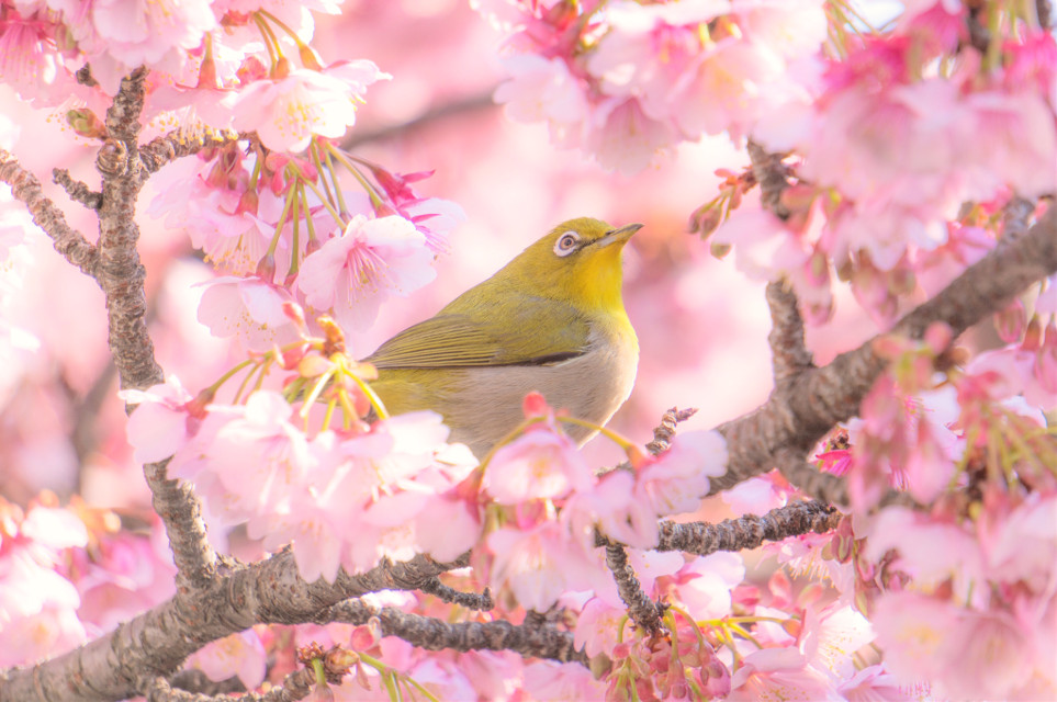 #freetoedit #bird #sakura #cherryblossom #cherryblossoms