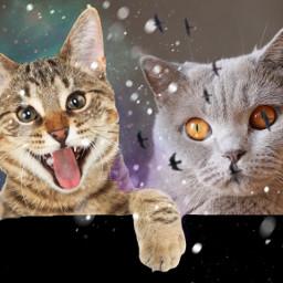 freetoedit cats cat funny grumpy
