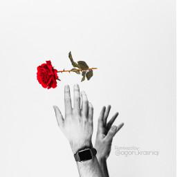 rose redrose hands art photography freetoedit