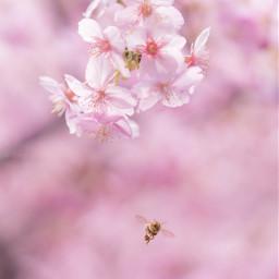 freetoedit 桜 sakura cherryblossom cherryblossoms
