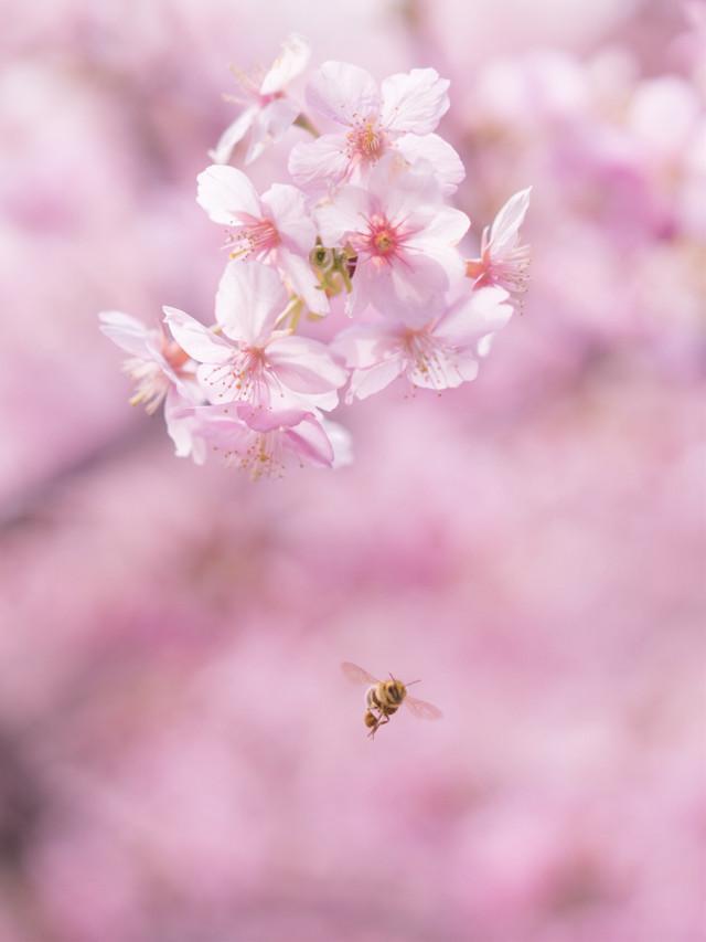 #freetoedit #桜 #sakura #cherryblossom #cherryblossoms #honeybee #bee #ミツバチ ##flower