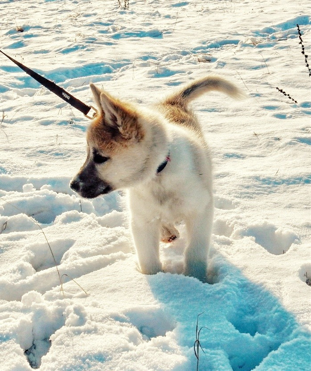 💙 #pcfromwhereIstand  #myphotography #puppy #husky #dog #snow #petsandanimals #photography #freetoedit