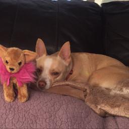 dog dogs dogsofpicsart chi chihuahua