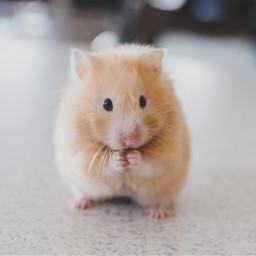 hamster hamsters cute animal animals freetoedit