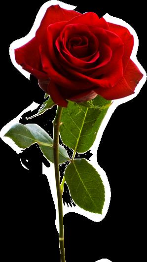 #Rose #freetoedit