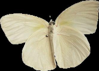 freetoedit white moth wings beige