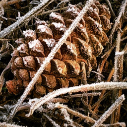 pinecone nature naturelovers forestlife planetearth freetoedit