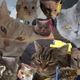 freetoedit mycats plschallengethis
