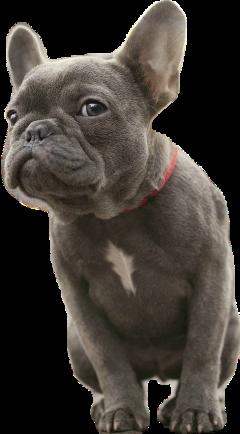 brown pies dog bulldog black freetoedit