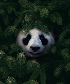 #panda,#catcuratedpanda