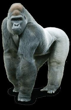 gorilla animal freetoedit