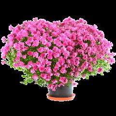 flower flowers pink flowerpot freetoedit