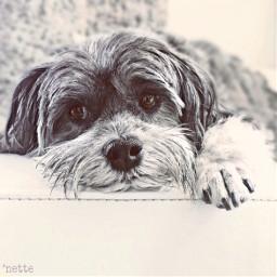pcpawportrait pawportrait freetoedit puppygirl friendsdog