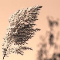 nature beachdunes wildplants plumes daylight freetoedit