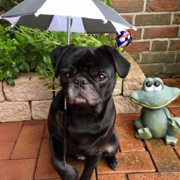 pcumbrellasisee umbrellasisee freetoedit regenschirm mops