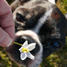pcflowerinhand flowerinhand freetoedit mydog bostonterrier