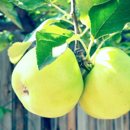 myphotography apples green sour delicious