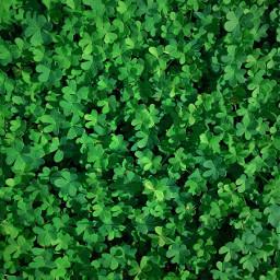 greennature fromwhereistand lookingdown wildplants fieldofshamrocks freetoedit