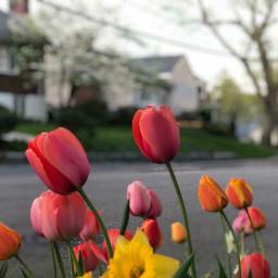 freetoedit tulips blooming spring colorful pccolorfestival pcspringishere