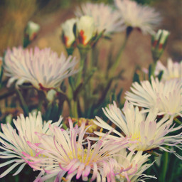 nature beachdunes wildplants flowers suculents freetoedit