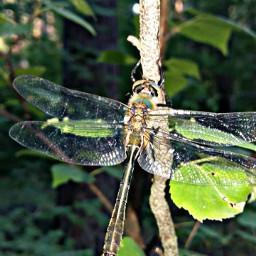 pcspringishere springishere dragonfly nature forestpark freetoedit