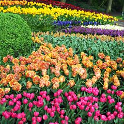 amsterdam keukenhof garden myphoto flowers pcspringishere pcflowersinthegarden freetoedit